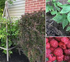 How to protect your hydrangea for the winter Hydrangea Color Change, Hydrangea Colors, Raspberry Canes, Raspberry Bush, Iris Flowers, Flowers Garden, Gooseberry Bush, Growing Irises, Cucumber Plant