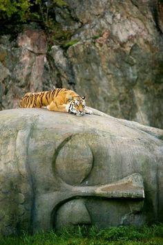 Tiger resting atop a stone Buddha statue . Buddha seems cool with it. Beautiful Creatures, Animals Beautiful, Animals And Pets, Cute Animals, Gato Grande, Photo Animaliere, Tier Fotos, Mundo Animal, Big Cats