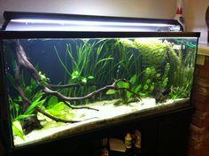 80g Planted Future Discus Tank - Imgur