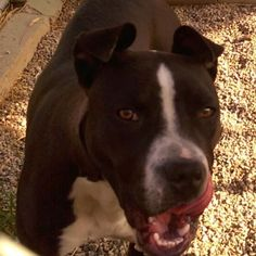 ID#1398513Bakerfield  I am a male Pit Bull Terrier.  My finder says I am under 1 year old. I have the following characteristics: Black & white in tact male Pit. Very friendly & young. No collar.  Someone found me on 05/19/2015. I was found at Oakdale & Palm.