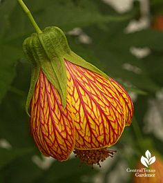 Patrick' abutilon, from the CTG blog this weekend.