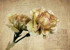 Vintage Carnations Photograph