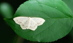 Bug of the Week: Sneaky Geometrid Moths – Growing With Science Blog