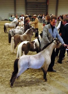 Will be in one of these shows soon after some training. Found a two year old stallion mini named Cowboys Little Rock. :) Will have to do tons of training, but I'm excited.