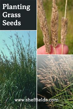 Find every type of grass you can imagine to plant and more. Available to ship globally! #sheffieldseed #grassseeds #plantingtips #gardeningtips #growingtips #gardening Planting Grass Seed, Planting Seeds, Herb Seeds, Garden Seeds, Container Gardening, Gardening Tips, Types Of Grass, Seeds For Sale, Garden Guide