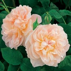 English Roses Mary Magdalene - Fragrant English Roses - English roses - bred by David Austin Bed Of Roses, Tea Roses, Pink Roses, Yellow Roses, All Flowers, Types Of Flowers, Pretty Flowers, Flowers Garden, Exotic Flowers