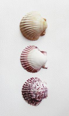 Scallop Seashells