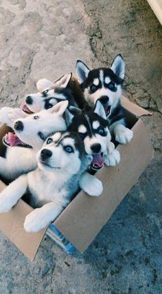Check out our puppy gallery for more incredibly adorable dogs and puppies! ally Teacup puppies are cute, small as well as adorable and this why most dog lovers prefer Teacup dogs as a companion animal pet. Cute Baby Animals, Animals And Pets, Funny Animals, Animals Images, Cute Puppies, Cute Dogs, Dogs And Puppies, Doggies, Huskies Puppies