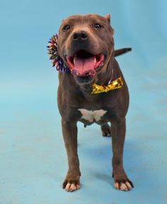 Jackie - URGENT - Valley Oak SPCA in VISALIA, CA - ADOPT OR FOSTER - 3 year old Female Pit Bull Mix