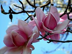 Two Pink Magnolia Digital Desktop Wallpaper Magnolia Trees, Magnolia Flower, Small Paintings, Zinnias, Tulips, Orchids, Beautiful Flowers, Blossoms, Pink