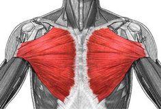 Muskelaufbau Übungen Brust, Pectoralis