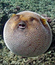 The Most Dangerous Animals in The Sea Puffer Fish Underwater Creatures, Underwater Life, Ocean Creatures, Fauna Marina, Life Under The Sea, Beautiful Fish, Sea And Ocean, Pacific Ocean, Sea World