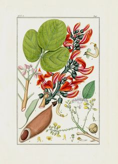 Butea Print from Medicinal Prints of Cannabis, Poppy, Digitalis, Cacoa, Chocolate by Winkler