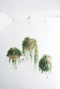Indoor plants with bead-like leaves, string of pearls are usually planted in hanging baskets. The string of pearls indoor plants grows well in bright light. Decoration Plante, Pot Plante, String Of Pearls, Deco Floral, Arte Floral, Hanging Planters, Hanging Baskets, Diy Hanging, Hanging Ferns