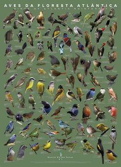 Aves da Floresta Atlântica