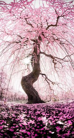 Cherry blossom tree 🌸✨ via Repost by 💗 Comment below if You like this💖 🌹 Love to tag? Cherry Blossom Tree, Blossom Trees, Blossoms, Beautiful Landscapes, Beautiful Gardens, Unique Trees, Japan Photo, Nature Tree, Photo Tree
