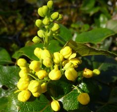 Mahonia Aquifolium Apollo Oregon Grape Online From Jacksons Nurseries