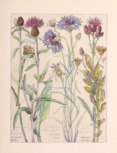 v.1 (1907) - Wild flowers of the British Isles / - Biodiversity Heritage Library