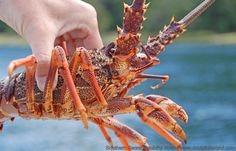 Fiordland Lobster - also known as New Zealand Crayfish are enjoyed as available (aka when we catch them). www.doubtfulsound.com Cruises, New Zealand, Southern, Cruise