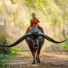 """""""See sor hai kwai fang"""" Não toque violino para os búfalos ouvirem.  provérbio tailandês  Foto: jovem tailandês sobre búfalo por @saravutwhanset"""