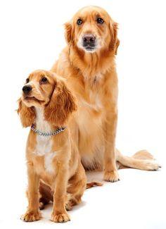 Golden Cocker Retriever Puppy and Golden Retriever