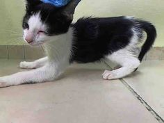 TO BE DESTROYED 10/9/14 ** FRIENDLY TUXIE BABY!! ONLY 7 WEEKS OLD! Beginner Allspice interacts with the Assessor, solicits attention, is easy to handle and tolerates all petting. ** Manhattan Center  My name is ALLSPICE. My Animal ID # is A1016407. I am a male black and white domestic sh mix. The shelter thinks I am about 7 WEEKS old.  I came in the shelter as a STRAY on 10/04/2014 from NY 10027, Group/Litter #K14-196928.