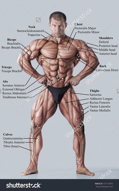 Muskeln Anatomie & Physiologie Gesundheit Fitness Training Muskel – Muskelsystem – Well come To My Web Site come Here Brom Body Muscle Anatomy, Human Body Anatomy, Human Anatomy And Physiology, Anatomy Male, Muscle Body, Body Muscles Names, Human Body Muscles, Human Body Name, Back Muscles