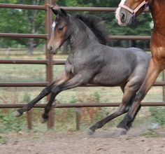 ASPC (American Shetland Pony Club) 2011 bay roan stallion, Secret Meadows Roan Ranger, www.encoressecret.com.