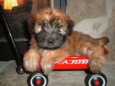This pup has no intention of leaving this wagon anytime soon