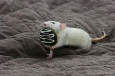 if you give a mouse a cookie. - your daily dose of funny cats - cute kittens - pet memes - pets in clothes - kitty breeds - sweet animal pictures - perfect photos for cat moms Funny Rats, Cute Rats, Cute Funny Animals, Animals And Pets, Baby Animals, Strange Animals, Beautiful Creatures, Animals Beautiful, Les Rats