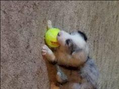Border Collie puppy for sale in CLINTON, MO. ADN-24973 on PuppyFinder.com Gender: Female. Age: 4 Weeks Old