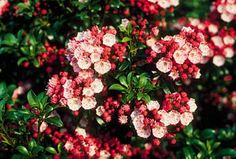 Little Leaf Laurels - Kalmia latifolia v. myrtifolia - Cary Award Winner - Distinctive Plants for New England. Hardy in Zones 4-9. Approx 3-4' tall. Full sun or partial shade. Evergreen.