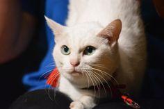 『猫侍』人気白猫、17歳にしてますます美しさに磨きをかける! - シネマトゥデイ
