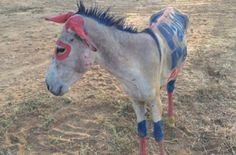 Un burro fue utilizado como valla publicitaria [http://www.proclamadelcauca.com/2015/08/un-burro-fue-utilizado-como-valla-publicitaria.html]