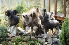11 Quirky Facts About the Chinese Crested   Mental Floss