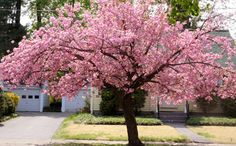 """I love these trees.want one someday.a """"kwanzan flowering cherry tree"""" Flowering Cherry Tree, Pink Trees, Trees And Shrubs, Front Yard Landscaping, Flower Power, Beautiful Flowers, Lawn, Bloom, Landscape"""