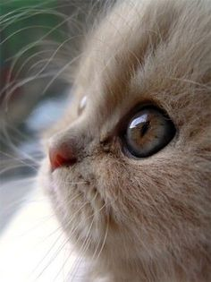 A profile of a kitten with huge eyes and a button nose.