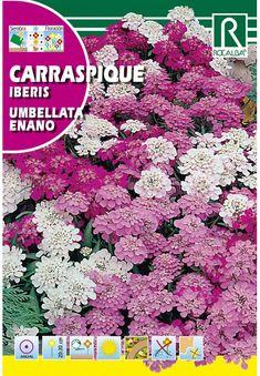 Egynyári virágok : Tatárvirág alacsony színkeverék