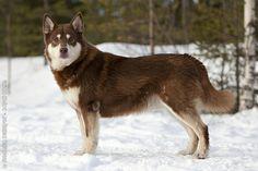 Lapponian Herder | Origin: Finland