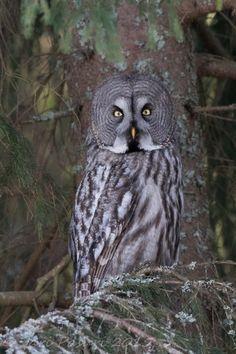 Great Grey owl, Strix Nebulosa