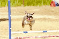 I think I can, I think I can... Reece is a rescue from Schnauzer Love Rescue and he was very shy when we rescued him. We started doing agility to try to build his confidence #Schnauzer