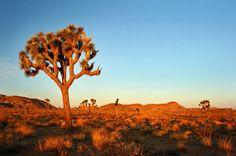 joshua tree - Google-søk