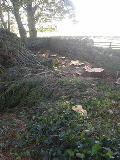 Felkington - leylandii tree stumps