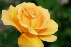 A Beautiful Yellow Rose
