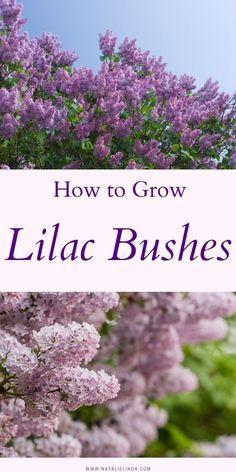 Learn how to grow lilac bushes with this informative guide! Learn what, when, and how to plant lilac bushes and how to care for them so you can enjoy their fragrant flower blooms in your own yard! garden inspiration How to Grow Lilac Bushes Garden Types, Garden Yard Ideas, Garden Landscaping, Garden Projects, Landscaping Ideas, Diy Projects, Shade Garden, Garden Plants, House Plants