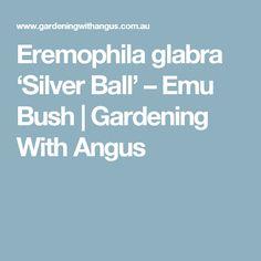 Eremophila glabra 'Silver Ball' – Emu Bush   Gardening With Angus