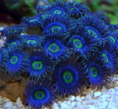 Mandarinfish also called the mandarin goby or mandarin for Reef fish for sale