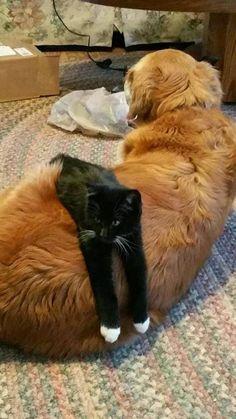 ❤︎ Chaton noir, chaussons blancs, vautré sur chien roux.