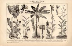 1898 Botanical Print Antique Print Vintage by Craftissimo on Etsy, €12.95