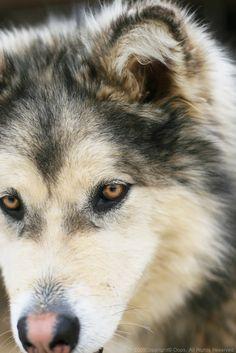 Alaskan Malamute by ~Oops-Choi on deviantART.      Brown eyes! Not photoshopped blue eyes.